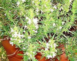 herbs for the rock wall herb garden