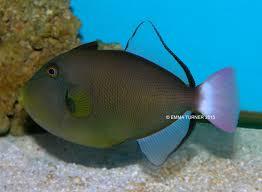 pinktail triggerfish maidenhead aquatics