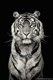 tiger black and white photography of printable and chart