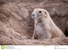 groundhog stock photo image 52598581