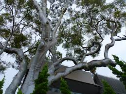 native plants south east queensland australian native trees gardening with angus