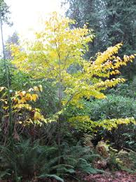 Botanical Gardens Ubc by Plantfiles Pictures Beech Fagus Longipetiolata By Conor123