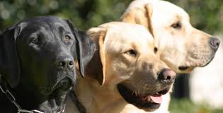 Pictures Of Blind Dogs Guide Dogs For The Blind Dog Programs