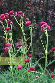 gap gardens cirsium rivulare atropurpureum ornamental