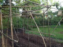Bamboo Cucumber Trellis May 2012 Moonvalleyfarm
