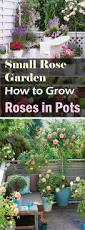 how to grow roses on balcony patio and terrace rose gardens