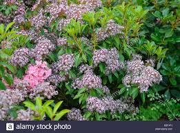 kalmia latifolia mountain laurel kalmia latifolia u0027nani u0027 kalmia latifolia nani