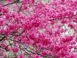Trees With Pink Flowers Flowering Trees