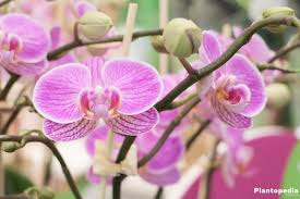phalaenopsis orchid moth orchids plant how to care u0026 repotting