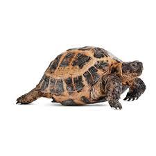 turtles u0026 tortoises for sale live turtles u0026 tortoises for sale