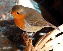 201 best robin red images on pinterest robin redbreast robins