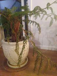 tree fern care how to keep tree ferns as indoor plants pistils