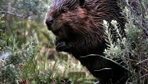 beaver slayers of patagonia vice video documentaries films