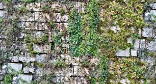 old stone wall with climbing plants texture seamless 20774