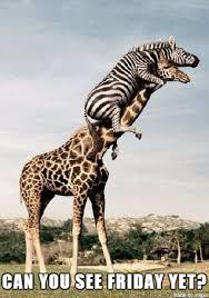 Meme Giraffe - friday giraffe meme on imgur
