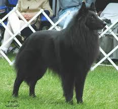 belgian sheepdog available 33 best belgian sheepdog images on pinterest belgian shepherd