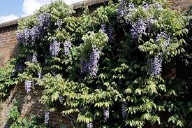 Climbing Plants That Flower All Year - climbers and wall shrubs rhs gardening