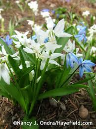 buy native plants garden u0026 outdoor pachysandra procumbens for your native woodland