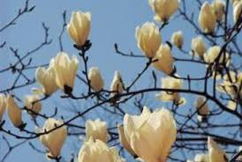 do magnolia trees to a to bloom home guides sf