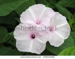 White Trumpet Flower - datura stock images royalty free images u0026 vectors shutterstock