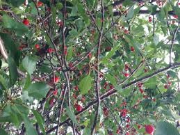 Best Fruit Tree For Backyard Best Fruit Trees For Colorado Climate Swingle Landscaping
