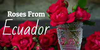 Wholesale Roses Want To See The Most Beautiful Roses Available See The Ecuadorian