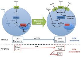 frontiers regulation of glucose metabolism in t cells new