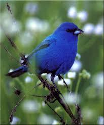 birds of north america indigo bunting male image only birds