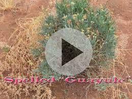 native plant seeds for sale native crops commercial uses for prickly pear and guayule the