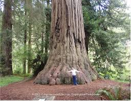the magnificent redwood trees of california top ten travel