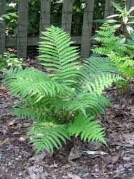 plants native to maryland maryland native plant society matteuccia struthiopteris