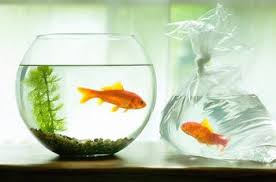 Goldfish In A Vase Using Fish As Feng Shui Cures For Wealth