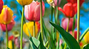 flower blue flowers field vibrant sky tulips wallpaper flower