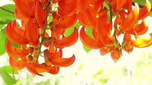 Tropical Climbing Plant - orange burn exotic tropical flower hanging climbing plants stock