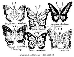 drawing black white butterfly name stock vector 493466143