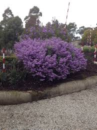 native plant nursery adelaide prostanthera ovalifolia it takes a couple of years but this is a