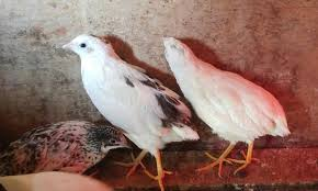 quail in canada