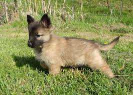 belgian sheepdog canada meet our belgian tervuren shepherds u2013 flower power vt farm