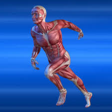 The Human Anatomy Muscles Human Muscular System Online Certification Alison