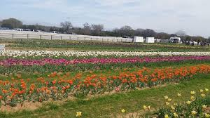 Black Mustang Ranch Pilot Point Texas Texas Tulips Pilot Point Top Tips Before You Go With Photos