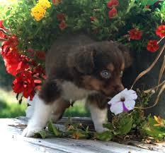 double r australian shepherds toy aussie puppies mini aussie puppy australian shepherd