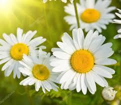 daisies in a field macro u2014 stock photo aleksask 4306473