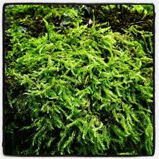 growing and transplanting moss plants how to propagate moss