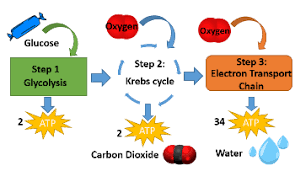 cellular respiration lesson for kids definition u0026 steps study com