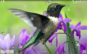 hummingbirds live wallpaper android apps on google play