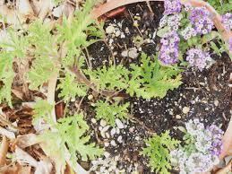 Fragrant Bedding Plants Scented Geraniums Forest Garden