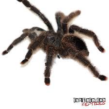 více než 25 nejlepších nápadů na pinterestu na téma tarantulas for