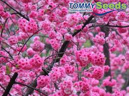 japanese cherry blossom tree seeds for diy home garden woody