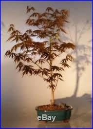 indoor bonsai large http indoorbonsai biz