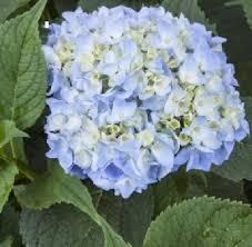 wholesale hydrangeas wedding flowers wholesale buying hydrangeas